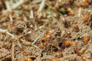 termites-colony